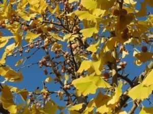 yellow fall leaves on maidenhair ginkgo biloba tree