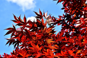 red fall maple tree leaves