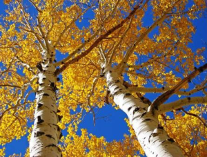 fall river birch trees with orange leaves