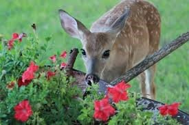 Baby Deer Smelling Spring Landscaping Flower Garden Great Falls